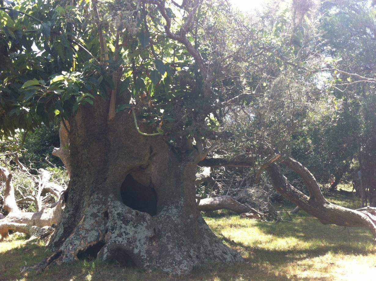 bosco Ombues